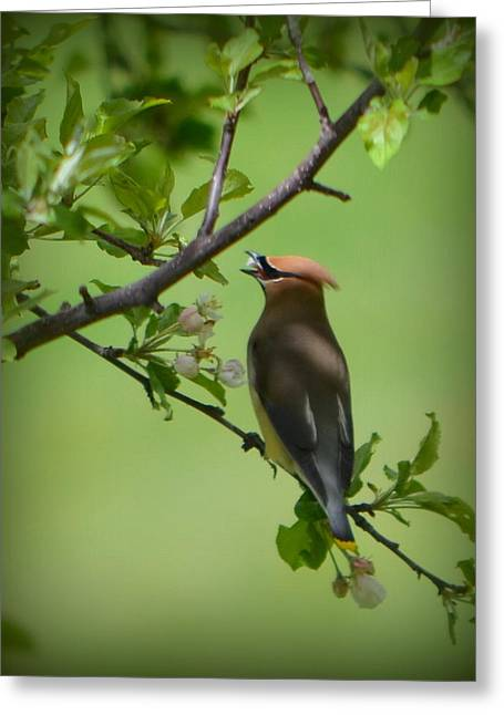Cedar Wax Wing Greeting Card by Carol Norman