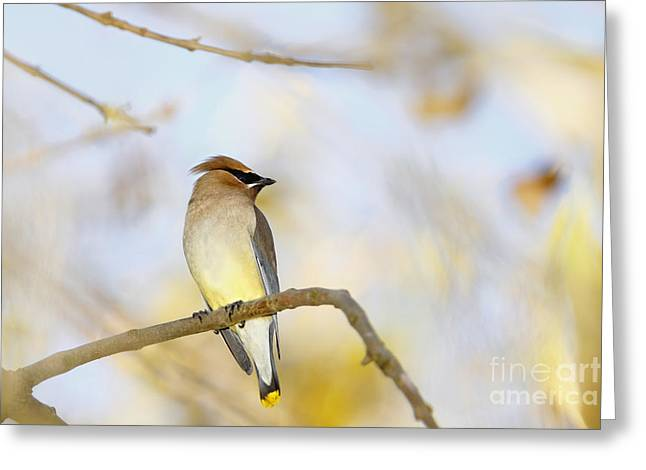Cedar Waxwing On Yellow And Blue Greeting Card by Susan Gary