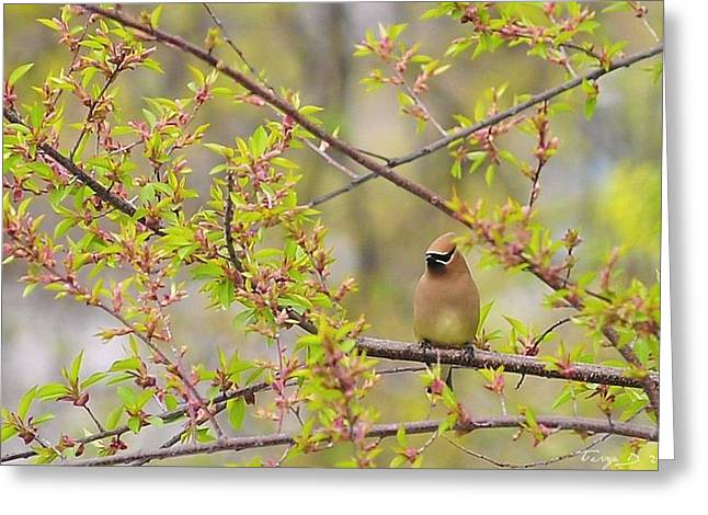 Cedar Waxwing Greeting Card by Terry DeLuco