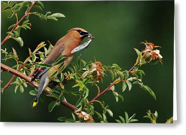 Cedar Waxwing With A Bug Greeting Card