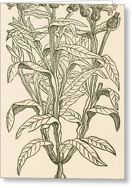 Centaurea Montana, Bachelors Button Greeting Card