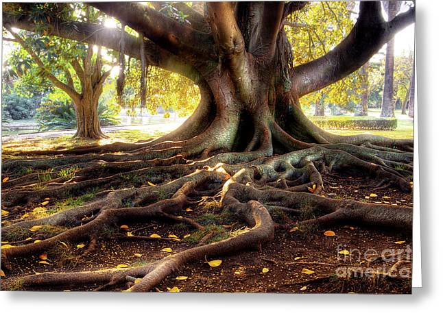 Centenarian Tree Greeting Card by Carlos Caetano