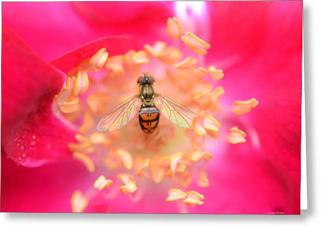 Greeting Card featuring the photograph Centerpiece Bee In A Rose by George Bostian