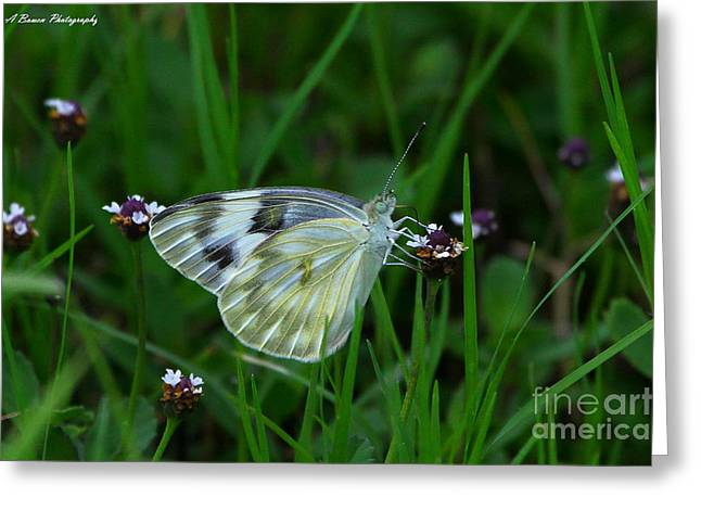 Checkered White Butterfly Greeting Card by Barbara Bowen