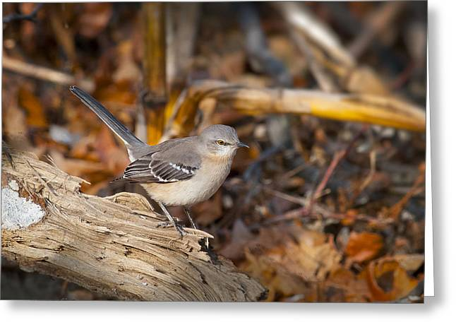 Checking Out His Territory - Mockingbird Greeting Card