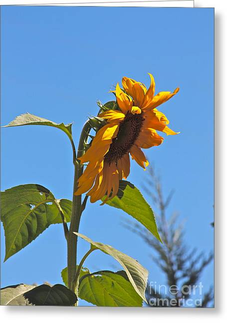 Cheer Up Sunflower  Greeting Card by Lori Leigh