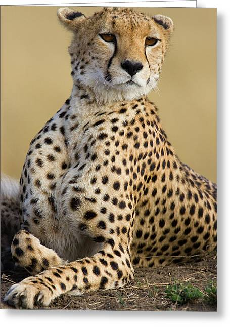 Cheetah Acinonyx Jubatus Adult Female Greeting Card