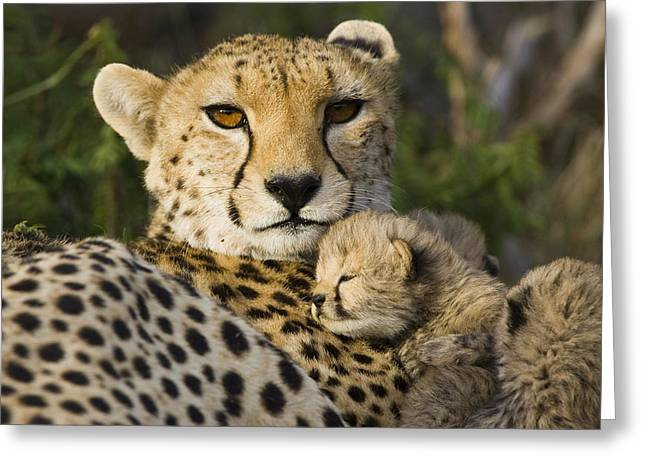Cheetah Acinonyx Jubatus And Cub Greeting Card by Suzi Eszterhas