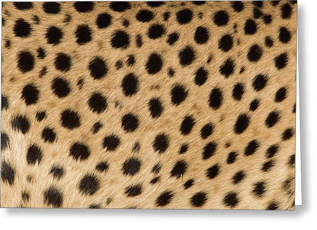 Cheetah Acinonyx Jubatus Close-up Greeting Card by Ingo Arndt
