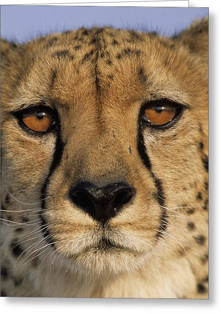Cheetah Acinonyx Jubatus Close Greeting Card by Winfried Wisniewski