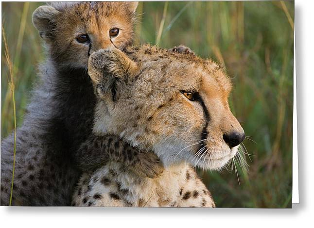 Cheetah Acinonyx Jubatus Eight Week Old Greeting Card by Suzi Eszterhas
