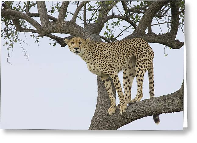 Cheetah Acinonyx Jubatus Female Greeting Card by Suzi Eszterhas