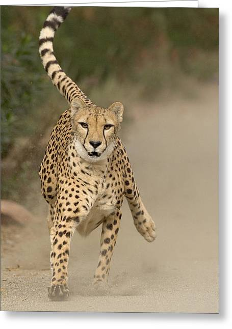 Cheetah Acinonyx Jubatus In Mid-stride Greeting Card by San Diego Zoo