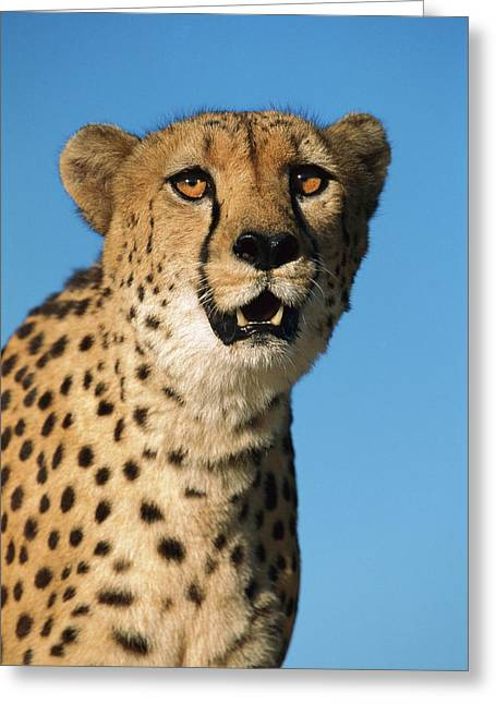 Cheetah Acinonyx Jubatus Portrait Greeting Card by Ingo Arndt
