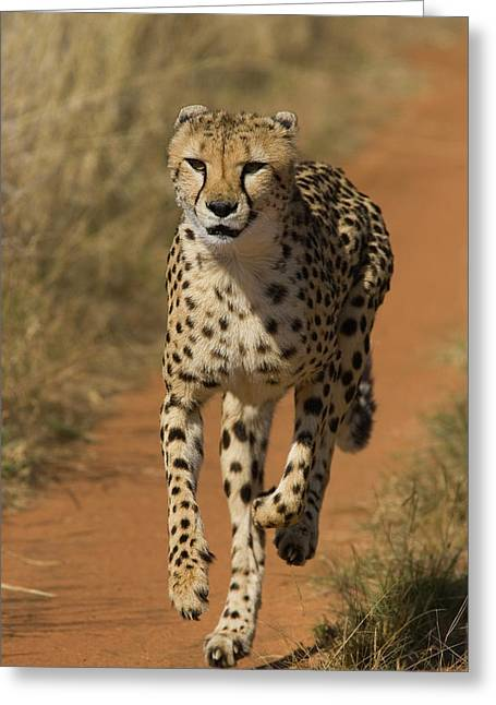 Cheetah Acinonyx Jubatus Rescued Greeting Card by Suzi Eszterhas