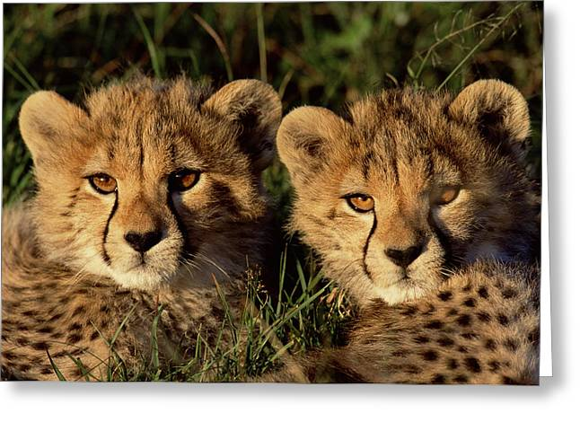 Cheetah Acinonyx Jubatus Two Cubs Greeting Card by Peter Blackwell