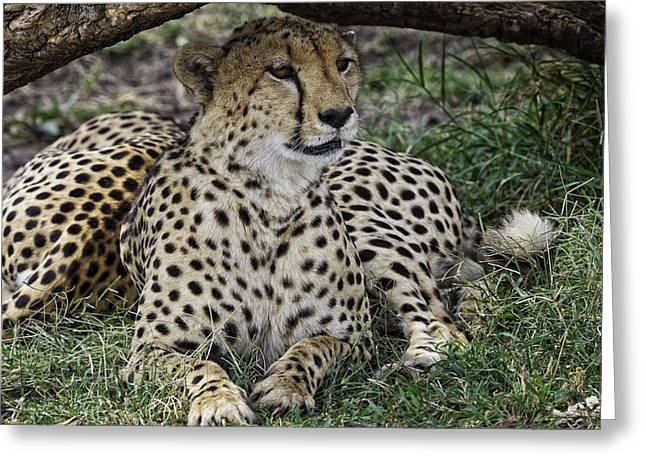 Cheetah Alert Greeting Card
