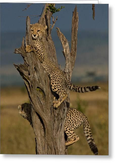 Cheetah Cubs Climbing In A Dead Tree Greeting Card