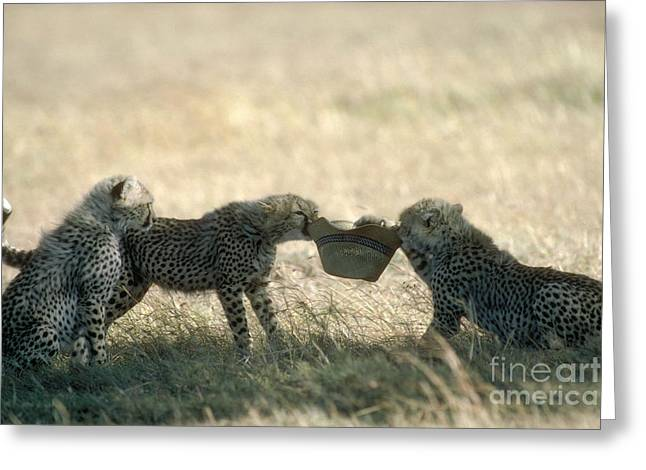 Cheetah Cubs Play With Hat Greeting Card by Greg Dimijian