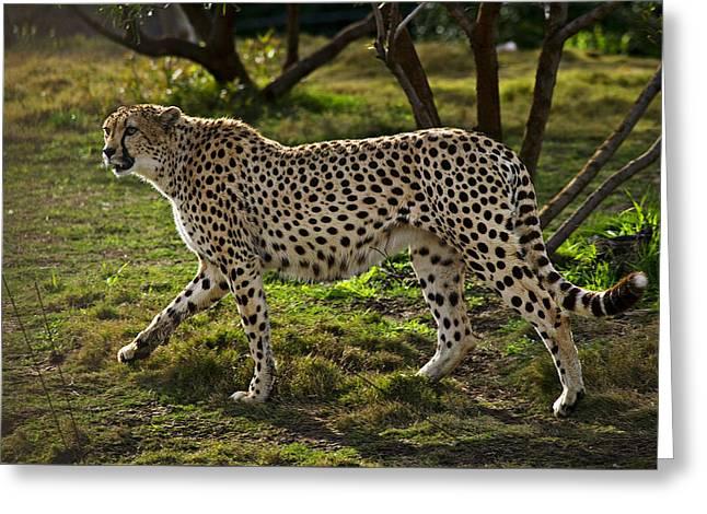 Cheetah  Greeting Card by Garry Gay