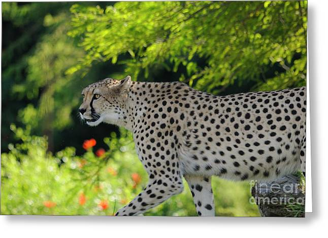 Cheetah Greeting Card by Marc Bittan