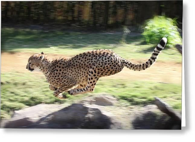 Cheetah Sprint Greeting Card by Joseph G Holland