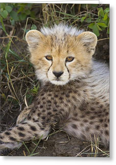 Cheetah Ten Week Old Cub Portrait Greeting Card by Suzi Eszterhas