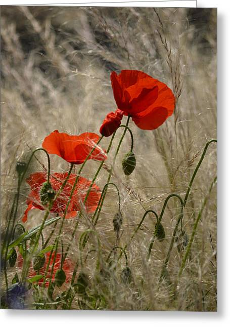 Chelsea Poppies I Greeting Card by Dickon Thompson
