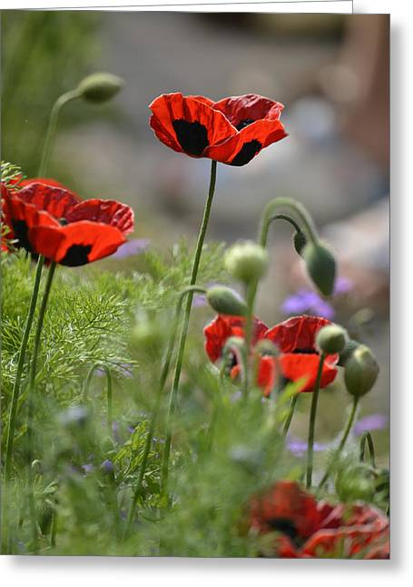 Chelsea Poppies II Greeting Card by Dickon Thompson