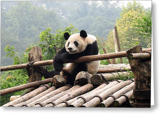 Chengdu Panda Greeting Card by Carla Parris