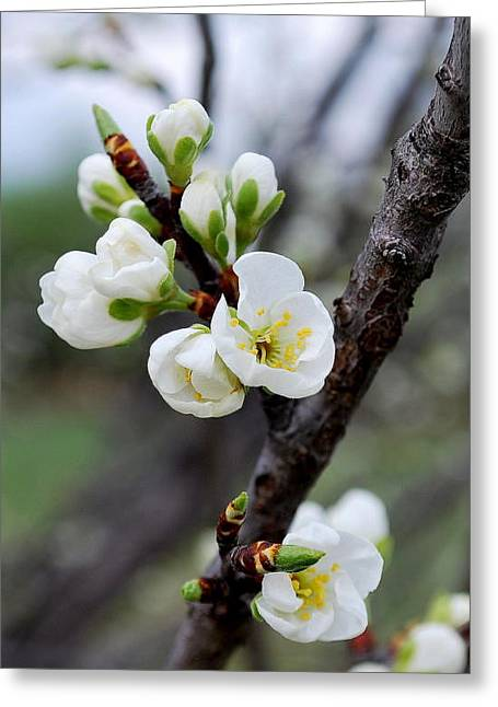 Greeting Card featuring the photograph Cherries To Be... by Marija Djedovic