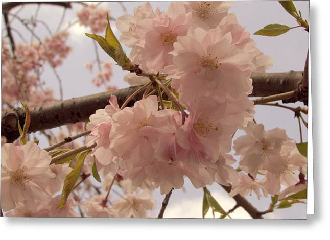 Cherry Blossom 2 Greeting Card by Andrea Anderegg