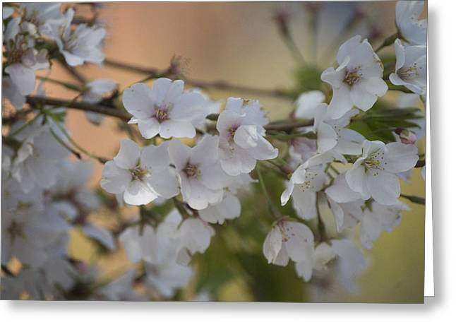 Cherry Blossom 4 Greeting Card
