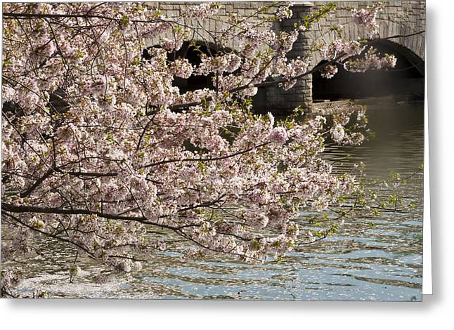 Greeting Card featuring the photograph Cherry Blossom On Potomic by Darleen Stry