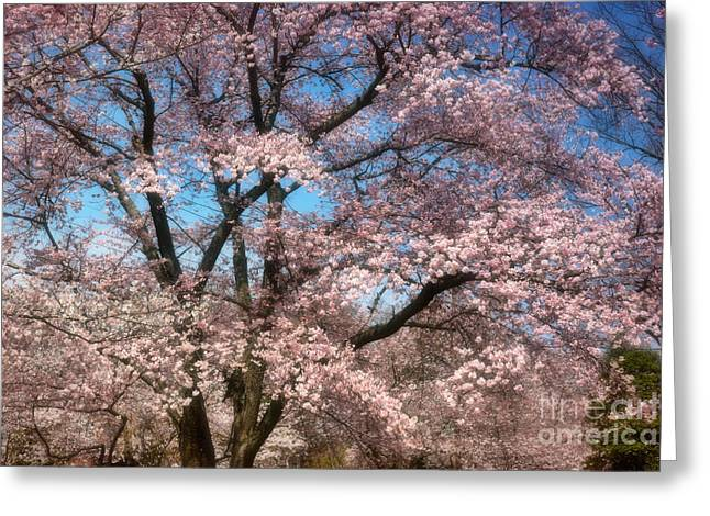 Cherry Blossoms Blooming Greeting Card