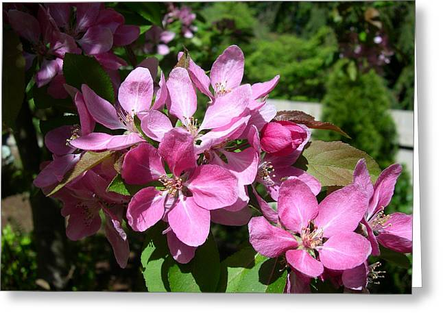 Cherry Blossoms Greeting Card by Claude McCoy