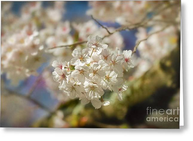 Cherry Blossoms Close Up Greeting Card