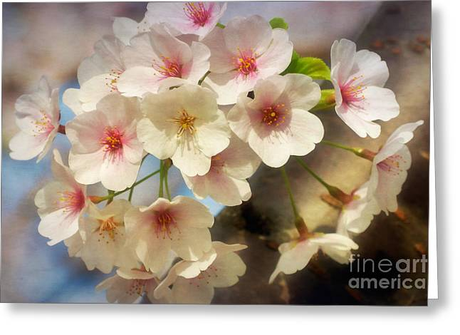 Cherry Blossoms Close Up Two Greeting Card