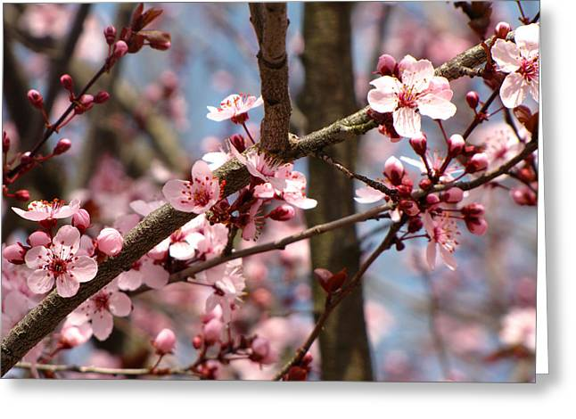 Cherry Blossoms Greeting Card by Denise Keegan Frawley