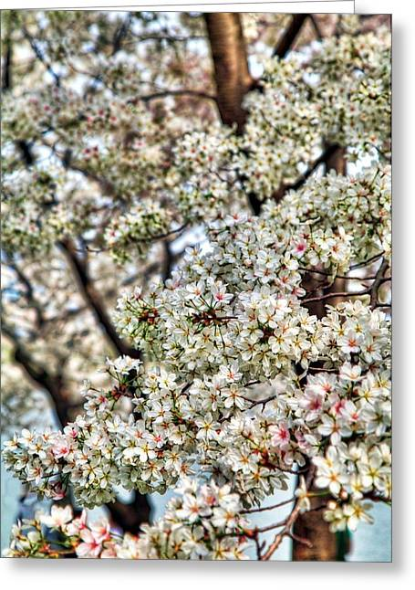Cherry Blossoms Washington Dc 2 Greeting Card by Metro DC Photography
