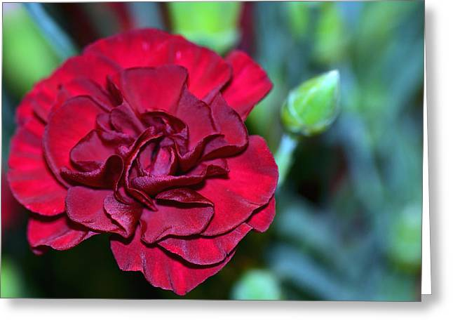 Cherry Red Carnation Greeting Card by Sandi OReilly