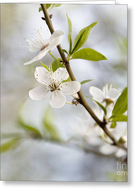 Cherry Tree Blossom Greeting Card by Agnieszka Kubica