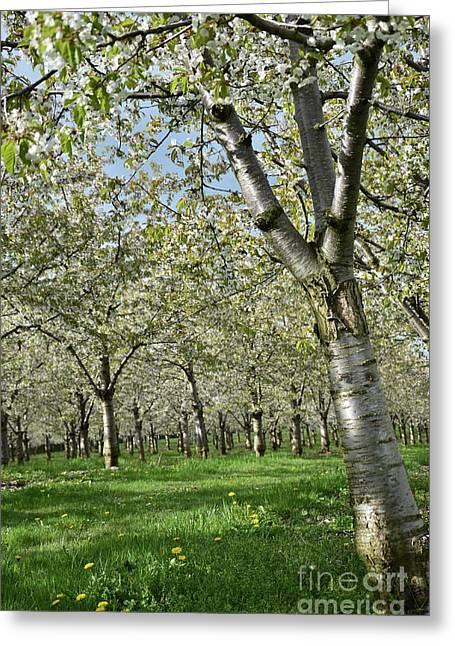 Cherry Tree Colors1 Greeting Card by Bruno Santoro