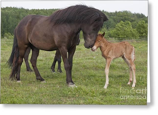Chestnut Newborn Icelandic Horse Greeting A Black Icelandic Horse Greeting Card by Kathleen Smith