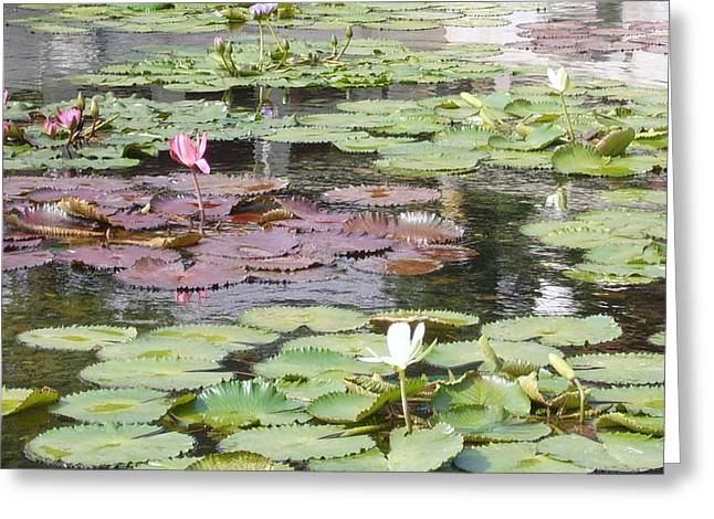 Chi Lin Lily Pond Greeting Card