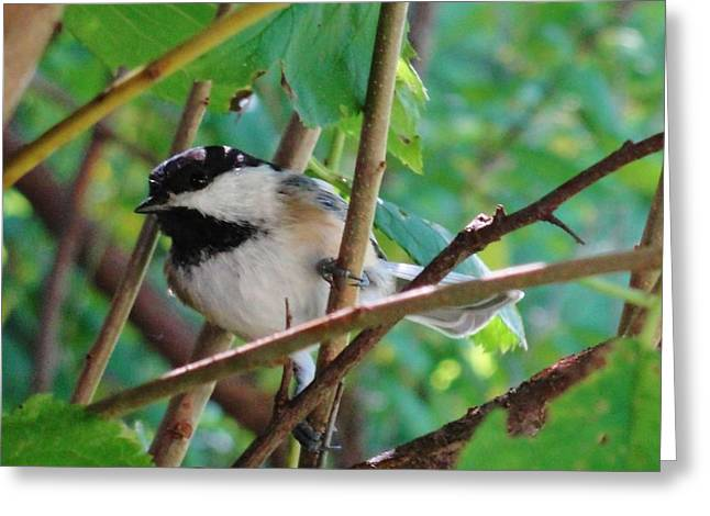 Chickadee Days Greeting Card by Katie Bauer