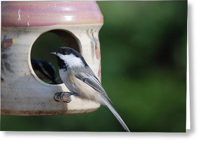 Chickadee Posing At Feeder Greeting Card