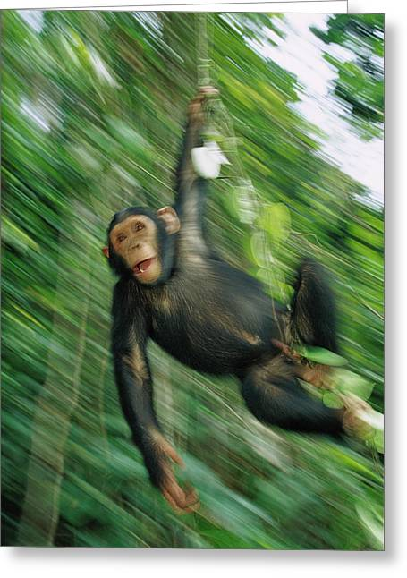 Chimpanzee Pan Troglodytes Juvenile Greeting Card by Cyril Ruoso