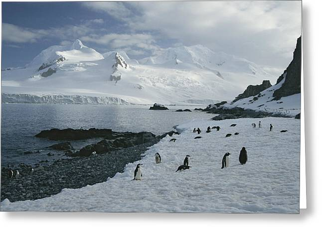 Chin Strap Penguins Congregate Greeting Card by Tom Murphy