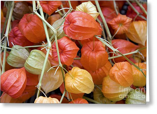 Chinese Lantern Flowers Greeting Card by Jane Rix